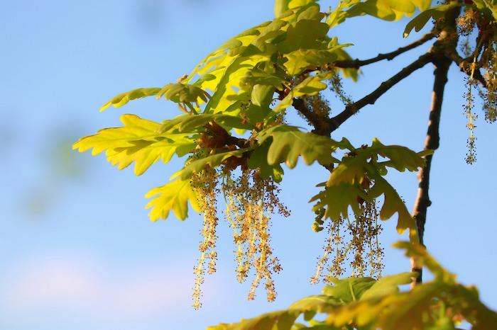 floriterapia oak