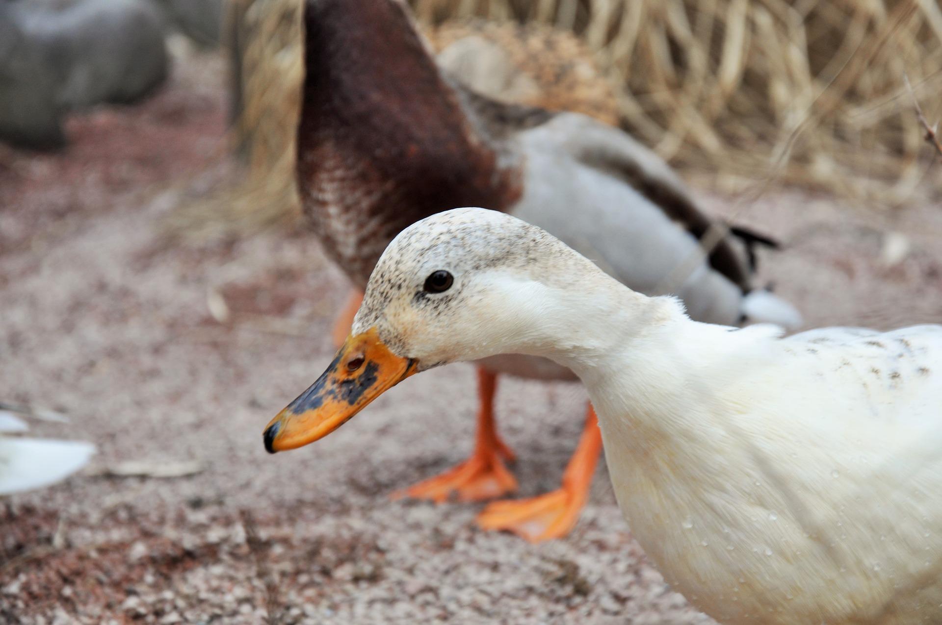Foie gras nei supermercati italiani