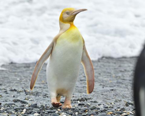 pinguino giallo mai visto prima