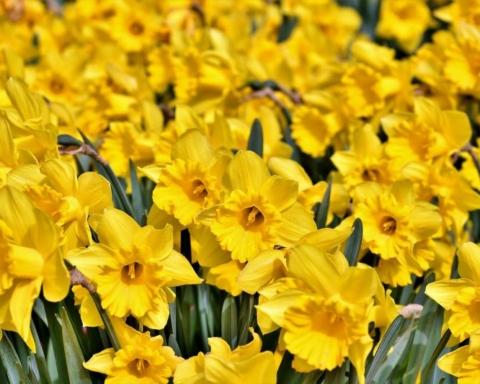 Come coltivare il narciso, il fiore dai mille significati