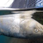 allevamenti di salmoni