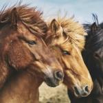 stop macellazione cavalli