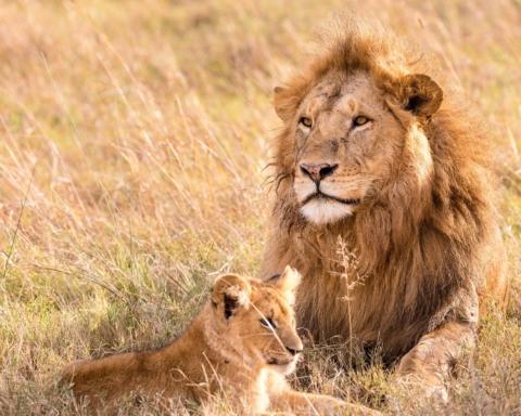 allevamento di leoni