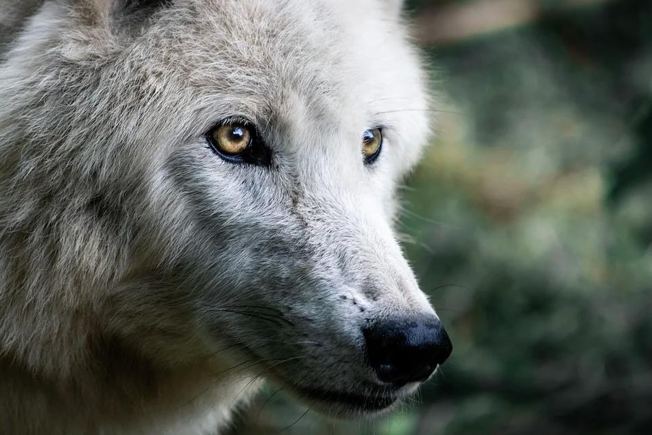Vietata la caccia al lupo in Slovacchia