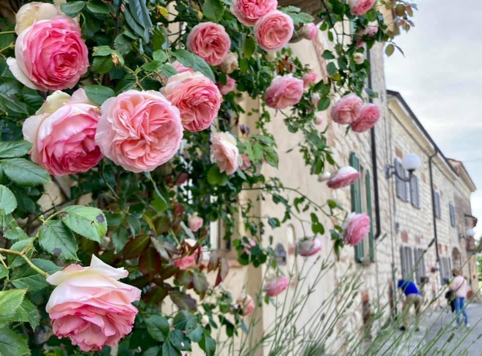 cellamonte-monferrato-rose-francesco-rasero.jpeg