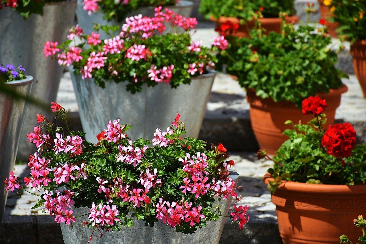 piante contro le zanzare geranio