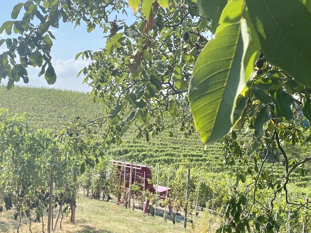 Castellinaldo d'Alba   La panchina tra le uve
