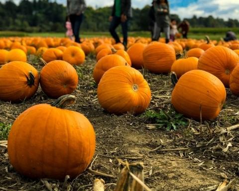 Un pumpkin patch è un campo di zucche