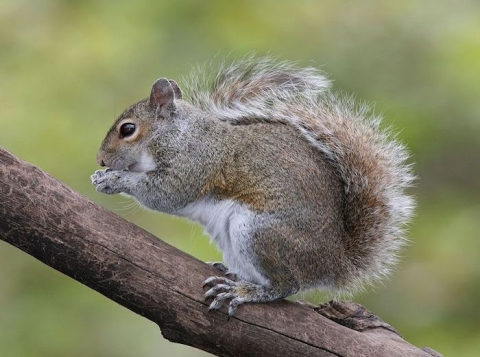 scoiattoli grigi