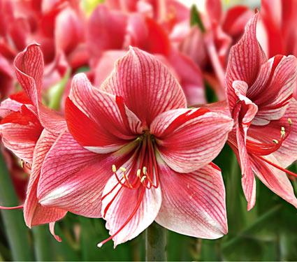 Fiori per San Valentino: l'Amaryllis