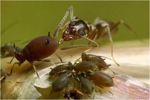 Afidie e formiche su Viburnum