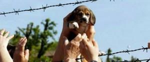 Liberazione beagle Green Hill