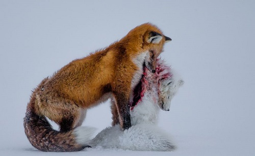 'A TALE OF TWO FOXES' DON GUTOSKI, FOTOGRAFIA VINCITRICE DEL CONCORSO