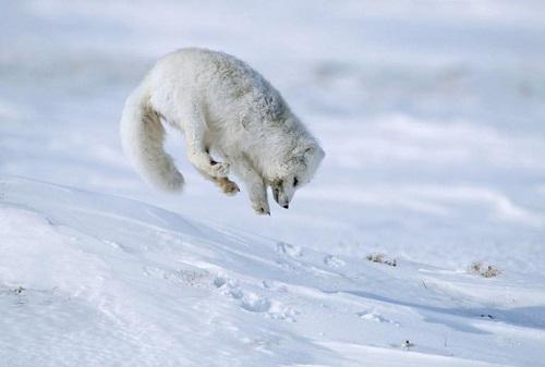 Cambiamenti climatici: esemplare di volpe artica in predazione