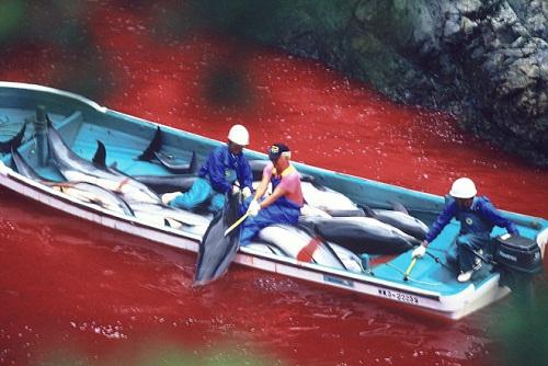 """La mattanza di delfini nella baia di Taiji documentata da """"The Cove"""""""