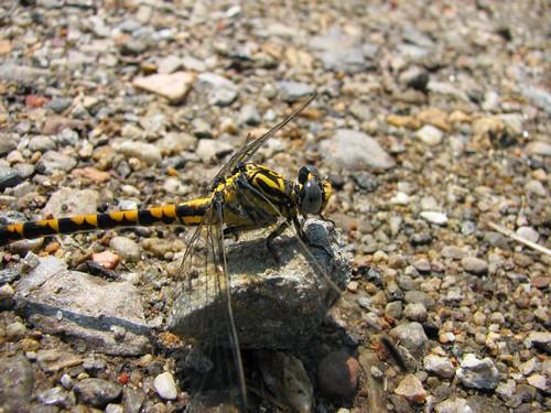 Insetti biondicatori ecologici: Odonati Anisotteri Onychofomphus uncatus maschio 1