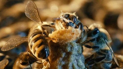 Ogni ape svolge un ruolo fondamentale nella colonia, per il bene comune