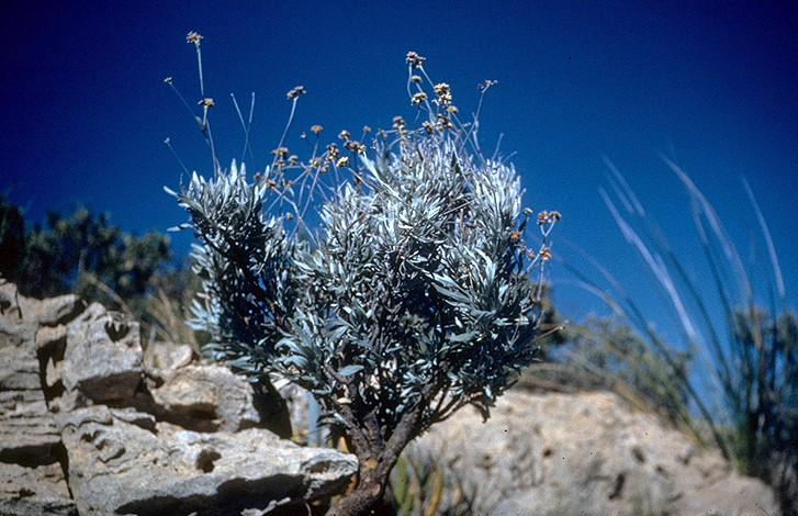 Parthenium_argentatum