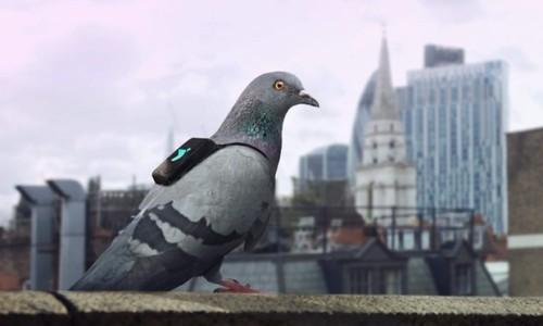 Plume-Pigeon-Patrol 1