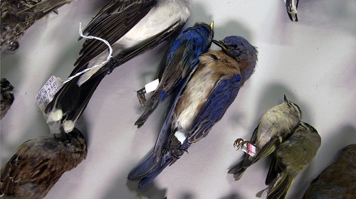 Uccelli uccisi dalle collisioni