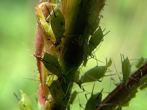 eliminare i pidocchi delle piante