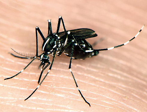 asian_tiger_mosquito_01