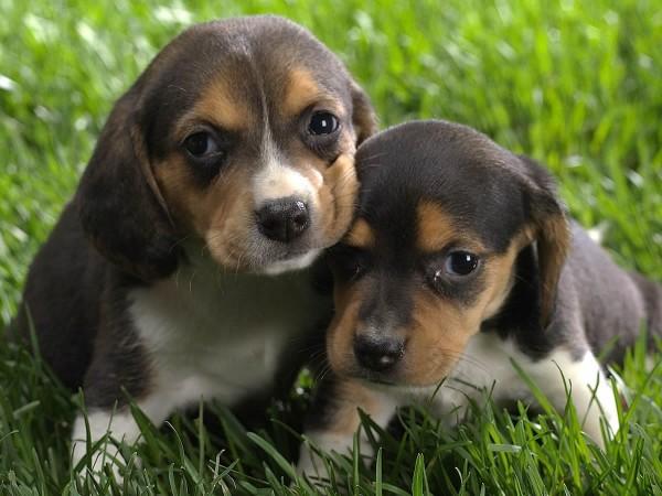 beagle-cuccioli-greenhill