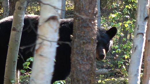 bear_cu_300dpi