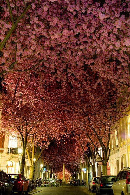 Kirschblüten in der Bonner Heerstrasse a Bonn, Germania