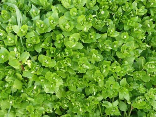 Centocchio comune. Nome scientifico: Stellaria media della fam. delle Caryophyllaceae. Foto: naturamediterraneo.com