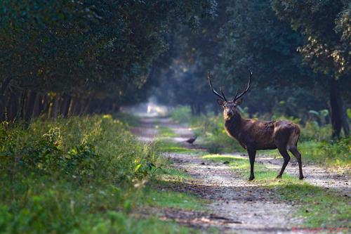 tracce nel bosco: il cervo