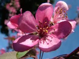Rimedi floreali: fiore di melo selvatico