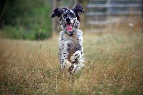 english_setter_running_through_grass-e1453147357711