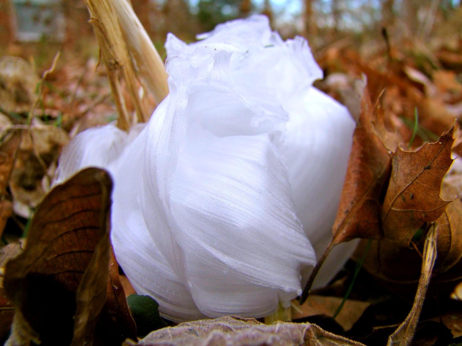 fiore di ghiaccio 1