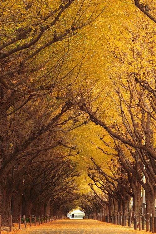 Ginkgo tree tunnel, Giappone