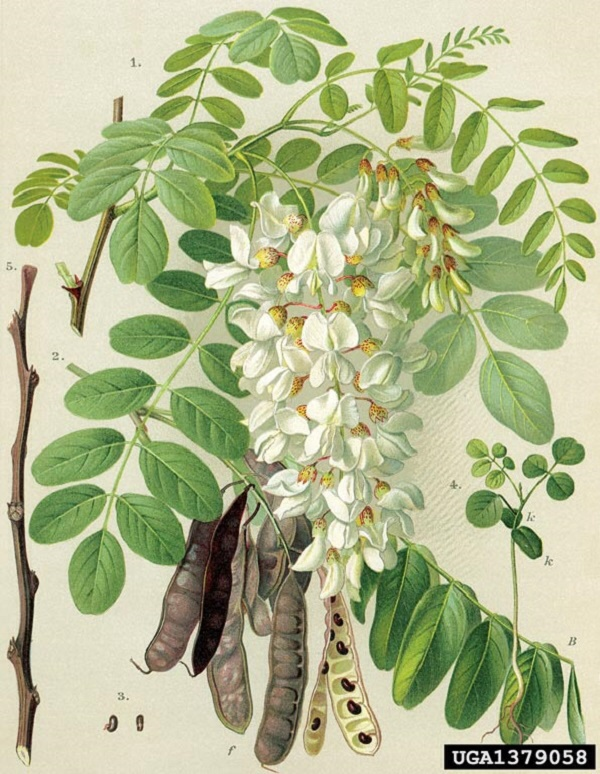 Acacia (foto www.ped.muni.cz)