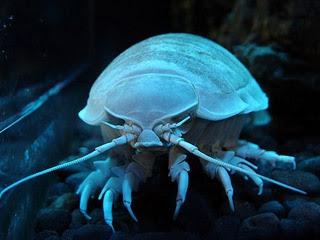 The Bay-Isopodo