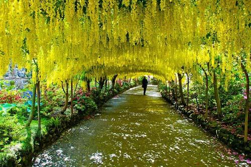 Laburnum tunnel, Bodnant Gardens, Inghilterra