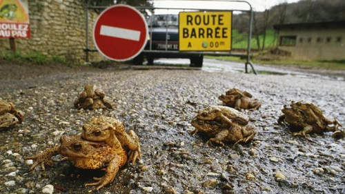 Migrazione del rospo comune, fonte: www.lastampa.it