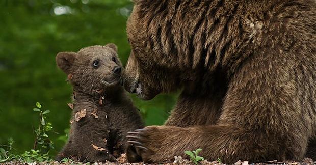 Dopo giorni di inseguimento, l'11 settembre 2014, l'orsa Daniza muore dopo la cattura