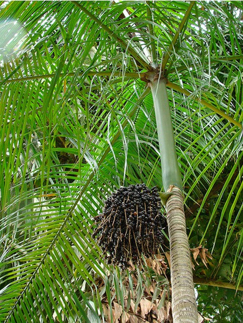 palma con frutti
