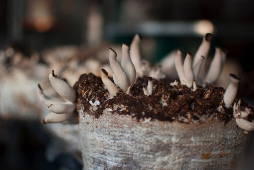 funghi commestibili dal caffè