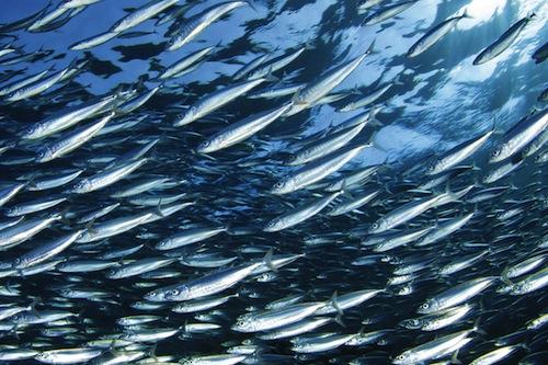 Sardine pesce azzurro