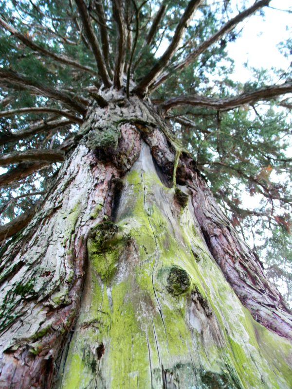Patriarchi verdi d'Italia sequoia Longarone
