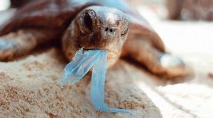 Esiste un rischio reale per le tartarughe di ingurgitare plastica o restarne intrappolate