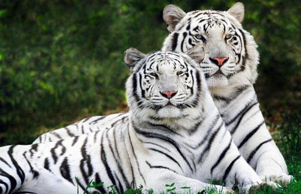 tigri.jpg