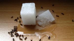 zucchero per attirare le formiche